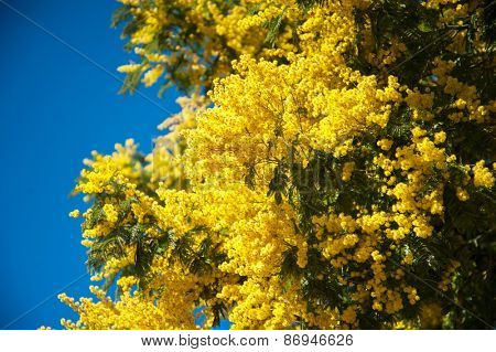 Mimosa yellow flowers against blue sky