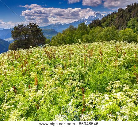 Blossom Alpine Meadows In The Caucasus Mountains