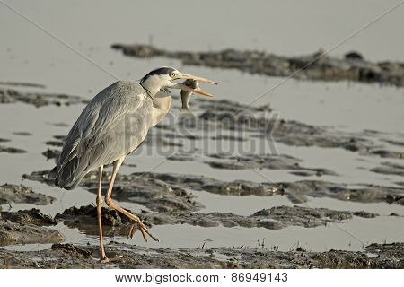 Grey Heron Holding Fish