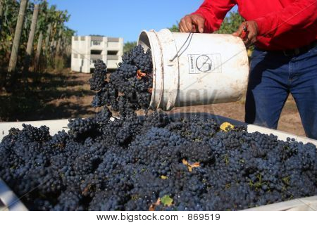 Grapes Tossed Into Bin