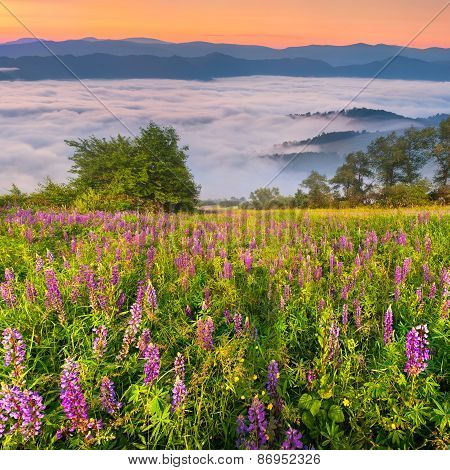 Field Of Blooming Lupine In The Mountains