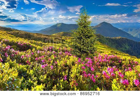 Magic Pink Rhododendron Flowers In The Mountain