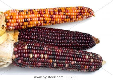 Indian Corn2