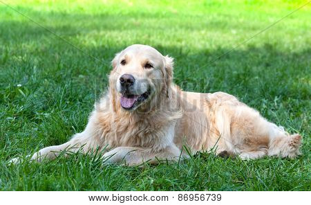 Dog A Golden Retriever Lies On A Green Grass In The Sunny Summer Day