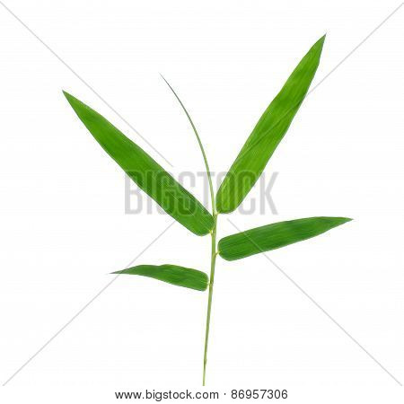Bamboo Leaf Isolate On White Background