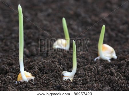 Corn Germination On Fertile Soil