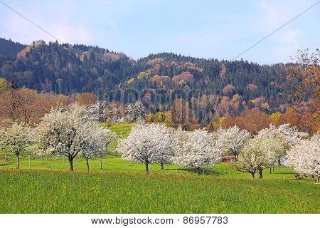 Flourishing Fruit Orchard