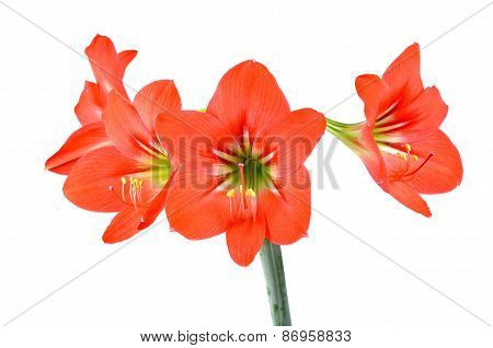 Red Hippeastrum Isolated On White Background