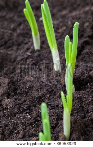 Young Sprouts Of Green Onion In Dark Soil
