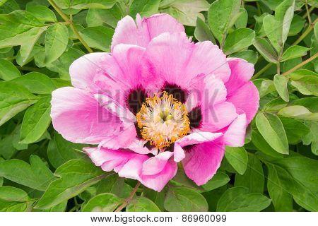 Decorative Pink Peony