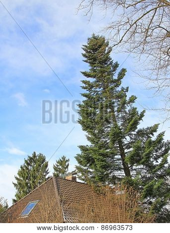 Overturned Fir Tree, Leaning On House Roof
