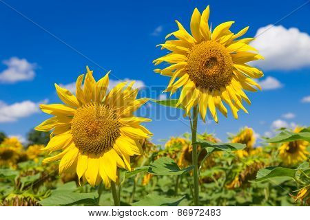 Close Up Of Two Big Yellow Sunflowers