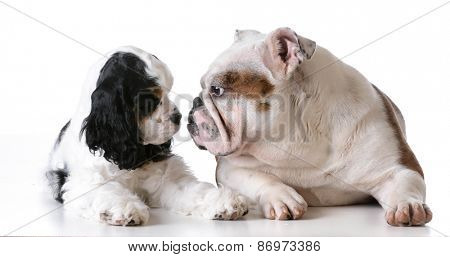 two puppies - american cocker spaniel and english bulldog puppies on white background