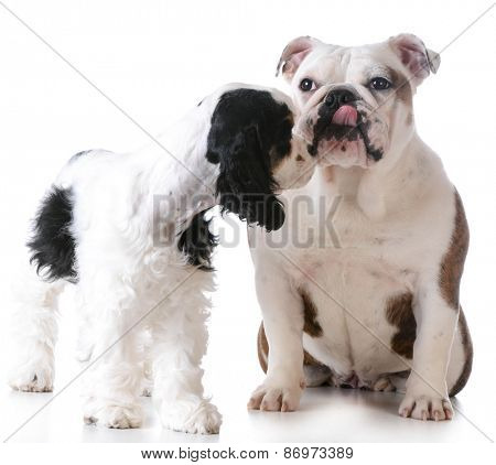 puppy love - american cocker spaniel and english bulldog kissing each other on white background
