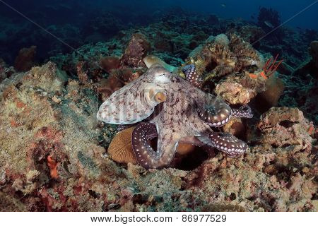 Octopus Underwater In Andaman Sea, Thailand
