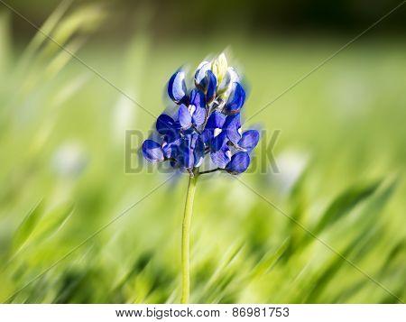 Blue Bonnet In The Wind