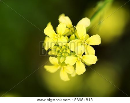 Morning Canola Flower