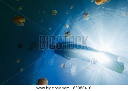 Underwater photo of tourist snorkeling with endemic golden jellyfish in lake at Palau. Snorkeling in Jellyfish Lake is a popular activity for tourists to Palau.