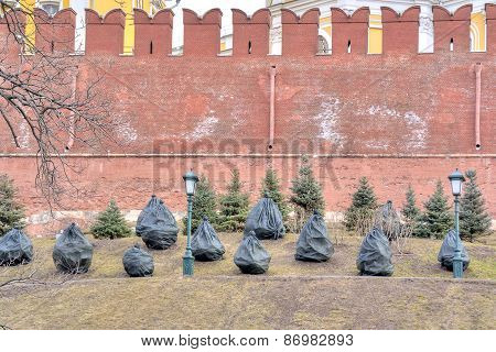 Fir-trees At The Wall Of Kremlin After A Winter