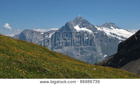 Schreckhorn And Meadow Full With Yellow Wildflowers