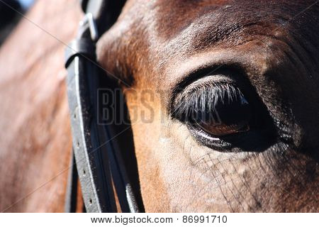 Close Up Of Horse Eye With Bridle