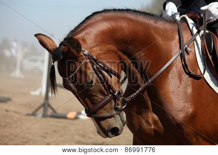 Portrait Of Sport Brown Horse During Show