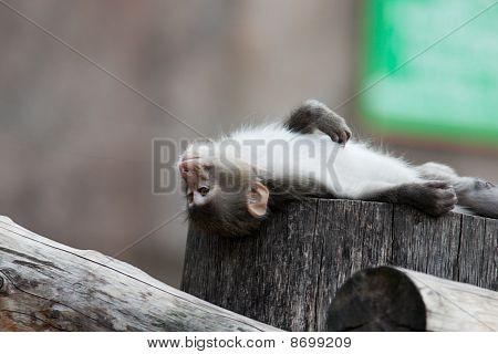 Japanmakaken, Macaca fuscata