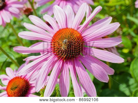Echinacea Flower With A Bee
