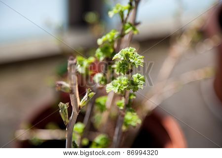 Currant Shrub Sprout