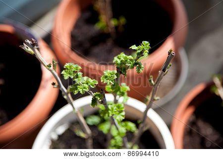 Currant Shrub Sprout
