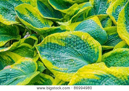 Green Leaves (hosta) With Water Drops