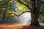 foto of sunshine  - mighty oak tree wrapped in sunshine - JPG