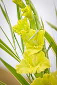 picture of gladiola  - Yellow gladioli flowers with leafs on blurred background - JPG