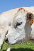 stock photo of calves  - Summer season on Italian Alps - JPG