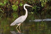 picture of alligator  - Great blue heron  - JPG