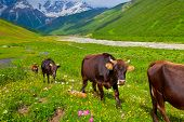 image of dairy cattle  - Cattle on a mountain pasture - JPG