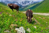 stock photo of dairy cattle  - Cattle on a mountain pasture - JPG