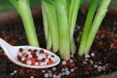 pic of potash  - Onion plant with chemical fertilizer in soil - JPG