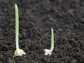stock photo of germination  - Close up of Corn germination on fertile soil - JPG