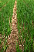 stock photo of gladiolus  - Close up of Row of plants in Gladiolus field  - JPG