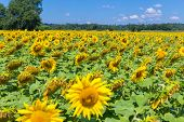 picture of heliotrope  - Field with sunflowers on a sunny day - JPG