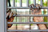 image of orangutan  - Old Orangutan hand in the old grunge cage - JPG