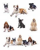 stock photo of herding dog  - Group of  dogs sitting in front of a white background - JPG