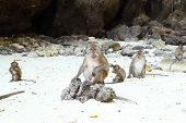 stock photo of macaque  - Monkey beach - JPG