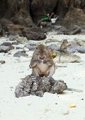 pic of macaque  - Monkey beach - JPG
