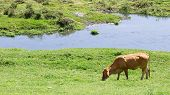 foto of eat grass  - cow eating grass at riverside in a sunny day - JPG