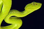 stock photo of nocturnal animal  - The Siamese Peninsula Pitviper  - JPG