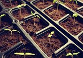 foto of pot plant  - many tomatoe seedlings growing in black pot - JPG