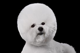 stock photo of bichon frise dog  - Beautiful portrait of a Bichon Frise dog breed on a black background - JPG