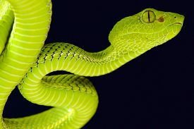 picture of tree snake  - The Siamese Peninsula Pitviper  - JPG
